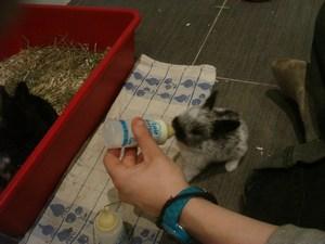 Biberonnage des 8 bébés lapins