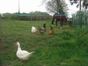 Une Cane, Trois poules et un cheval